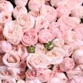 19 krémových růží
