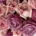 Růžové růže mix