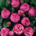 Pivoňkové růže