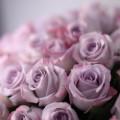 51 fialových růží