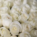 51 bílých růží